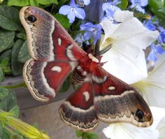 (160mm) or six inch wing span [Cecropia Silk Moth]. B. 2013