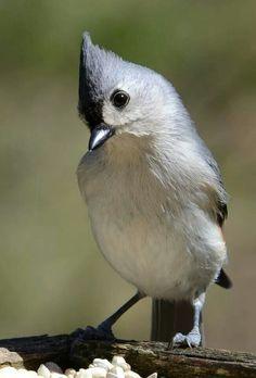 Tufted titmice. Michigsn Bird Watching