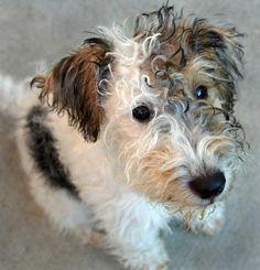 Iago the Fox Terrier