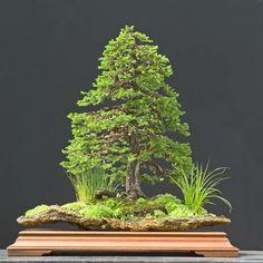 Walter Pall, Germany Ezo spruce (Picea jezoensis)