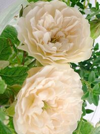 Garden and English Roses