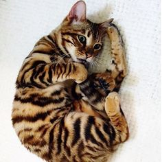 Toyger cat breed. Toyger  The toyger is the result of breeding a striped Domestic Shorthair and a Standard Bengal Tabby, which resulted in a striped cat that resembles a small tiger.