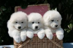 Cutest-Samoyed-Puppies4.jpg (640×425)