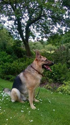Belgian Shepherd, German Shepherds, German Shepherd Dogs, Berger Malinois, Belgian Malinois, Doggies, Dogs And Puppies, Cool Pets, Beautiful Dogs