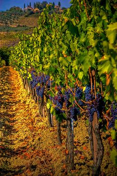 Grapes ripening on the vine to make the wonderful wines of the region. Tuscany, Italy