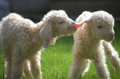 Little lambs. Too cute!
