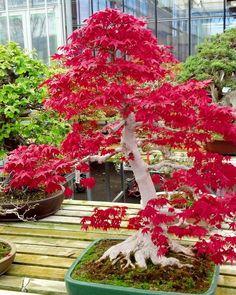 🌿 BONSAI LOVE 🌿 ↠↠↞↞ #bonsai #mapleleaves Bonsai Plants, Bonsai Trees, Trees To Plant, Outdoor Bonsai Tree, Artificial Cherry Blossom Tree, Dwarf Trees, Japanese Maple, Small Trees, Cat Art