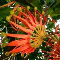Stenocarpus - firewheel tree