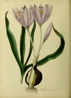 Colchicum Autumnale (Common Meadow Saffron).  Illustration taken from 'Plantae Utiliores ; or illustrations of useful plants, employed in the arts and medicine.'   Plates by M.A. Burnett, text by G.T. Burnett. Published by Whittaker.  Wellcome Library.