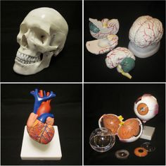 Life Size Human Skull + Life Size Heart + Life Size 3 Part Brain + Giant 7 Part Eye