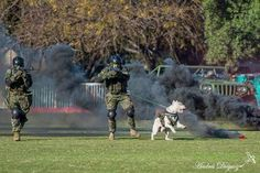 #Dogo Argentino military training