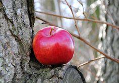 Apfelbaum Räucherwerk