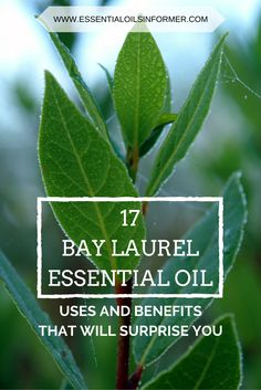 No tree has been as much praised for its elegance, fragrance and therapeutic properties as the laurel, sweet bay or bay laurel, to list but a few of its names in English. Laurus is a