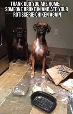 If you like funny dog memes, you've come to the right internet location. These are the 100 funniest dog memes of all time. Funny Cute, The Funny, Hilarious, Funny Dogs, Cute Dogs, Funny Puppies, Boxer Puppies, Beagle, Tierischer Humor