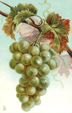Bunch of green grapes hanging from vine. Possibly Catherine Klein. Circa 1910.