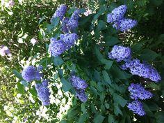 My Lilac • Oma Syreeni