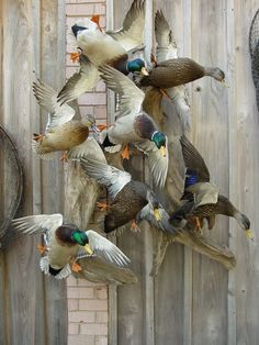 I Have this big fat pretty Mallard Drake I shot last week and I want to get it mounted I was thinking maby cupped at . Taxidermy Decor, Taxidermy Display, Bird Taxidermy, Duck Hunting Boat, Hunting Cabin, Hunting Guns, Aix Galericulata, Duck Mount, Deer Mounts