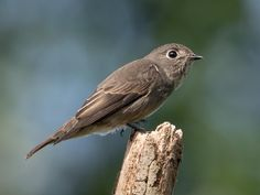 Dark-sided Flycatcher also Siiberian Flycatcer  (Muscicapa sibirica) by Patco Erika