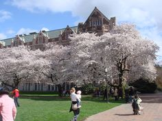 Cherry Blossoms @ University of Washington, Seattle