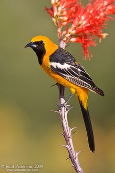 """One of the brightest colored birds in the Southwest, the hooded oriole's brilliant orange """"hood"""" and black throat seem emphasized by desert sunshine. The hooded oriole is more slender than other orioles and is the only oriole in the United States with an orange crown. Both sexes are 7 to 7 3/4 inches long with a thin, black, slightly downcurved bill. They sing in a warbling, throaty whistle, interspersed with chatter. The call note is a liquid, whistled wheet."""