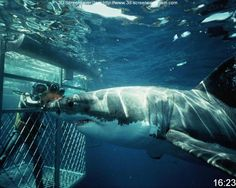 """In the cage! Perspective. You can really see how big the shark is next to the cage. """"Scale"""" as Hooper says in Jaws...."""