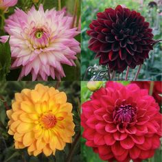 Dahlia. Natural blooming season: Summer. Relative cost: Mid