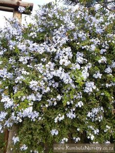 Plumbago is versatile, water wise and reliable.