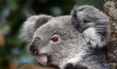 Koala found with ears cut off in Australia