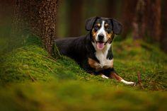 Alaisia von Afkat – Entlebucher Sennenhund – Hundefotografie Ingolstadt