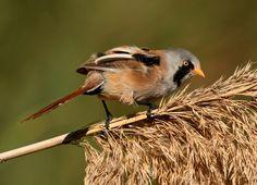 misleidend - Vogels - Baardman