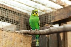 Budgerigar Bird, Budgies, Made Goods, Pet Care, Pet Birds, Parrot, Pets, How To Make, Animals