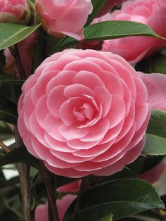 Camellias are such a beautiful flower and plant.  They bloom in Feb., March and April here in the south.  Leaves must be sprayed for 'Whitefly'.  Neal