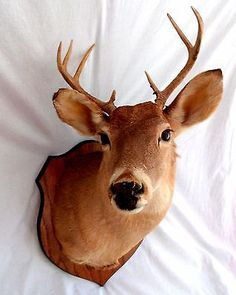 Whitetail Deer 7 Point Head Shoulder Mount Buck Taxidermy White Tail Man Cave