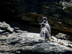 GALLERY | Whale Watching Chile Humboldt penguins Humboldt Penguin, Whale Watching, Penguins, Chile, Wildlife, Gallery, Animals, Chili Powder, Animaux