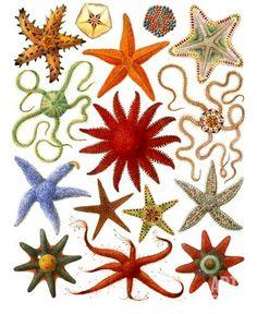 Stars of the sea. Print.