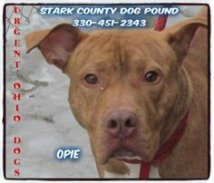 Urgent Ohio Dogs *** SUPER URGENT ***  WE CAN'T BELIEVE OPIE IS STILL HERE!!!!!  COME ON OHIO...PLEASE DON'T LET THIS BOY WITH THE PAINTED PINK TOENAILS DIE IN THIS POUND!!!!!  This gorgeous face belongs to Opie!! He was picked up as a stray on 1/30, and became available on 2/3 CONTACT INFO:  Stark County Dog Pound 1801 Mahoning Road NE Canton, Ohio 44705  Phone: 330-451-2343  OPIE: http://www.petfinder.com/petdetail/28432590/https://www.facebook.com/photo.php?fbid=801997156482079