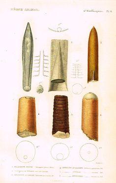 """Cuvier's Mollusks - """"BELEMNITE PLEINE"""" - Plate 11 - Hand Col'd Engraving - 1830"""