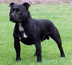 My very favourite breed of dog, the Staffordshire Bull Terrier. Yes, I'm a Staffie-bore!
