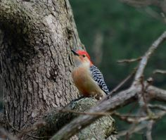 he worked hard at making a hole in the tree, just to have the starling pair take it over