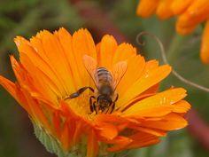 Biene an Ringelblume