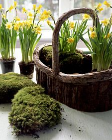Love these daffodils for a spring table arrangement