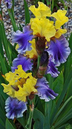 ˚Iris | by Dave Smith on Flickr