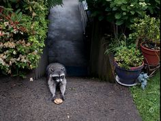 Raccoon taking a cookie. via National Geographic.