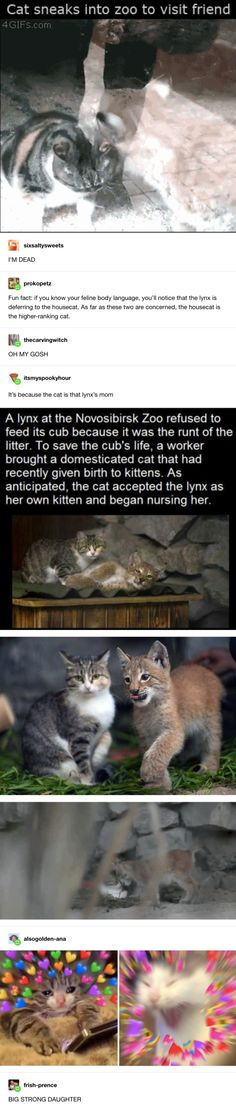 Domesticated cat and lynx dauggter Cute Little Animals, Cute Funny Animals, Funny Cute, Cute Cats, Funny Animal Memes, Cat Memes, I Love Cats, Animals And Pets, Animal Pictures