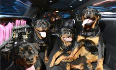 Rottweilers in a Lincoln limo, from DOGS IN CARS by Lara Jo Regan
