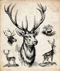 "Antique Woodland Print ""Trophy Deer"" Natural History Illustration - Vintage Forest Print - Deer Antlers"