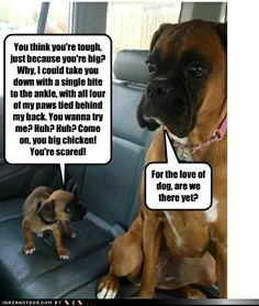 Little boxer takes on big boxer. :)