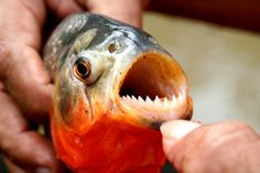 I've never seen a fish with teeth before.