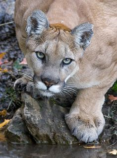 wild mountain lion photographed in the Wasatch Mountains in Utah