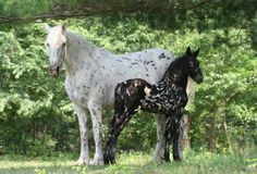 "Friesian Cross produced by crossbreeding the Friesian horse. Some popular crosses include Friesians crossed with draft horses (primarily Percherons), Morgans (Friesian/Morgan is known as a ""Moriesian""), Arabians, Andalusians (Friesian/Andalusian is known as a Warlander), Paints, Saddlebreds (Friesian/Saddlebred is known as a ""Georgian Grande""), Thoroughbreds, and Tennessee Walkers (Friesian/Tennessee Walker is known as a ""Friewalker"".)"
